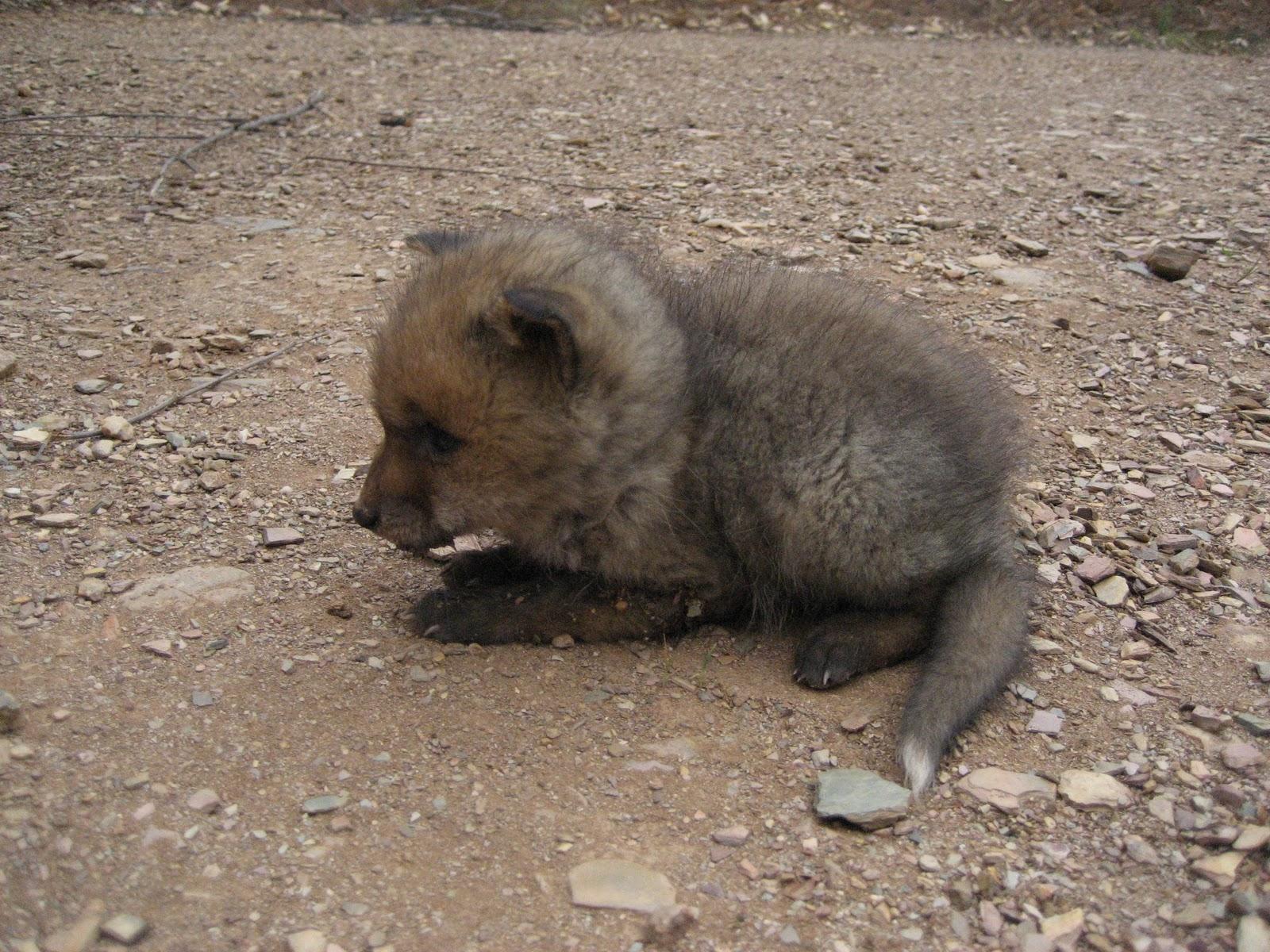 Una cría de zorro en la sierra aznalcollera / Juan C. Romero